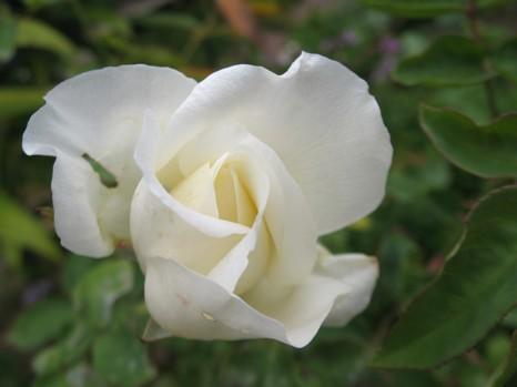 白マルメ3