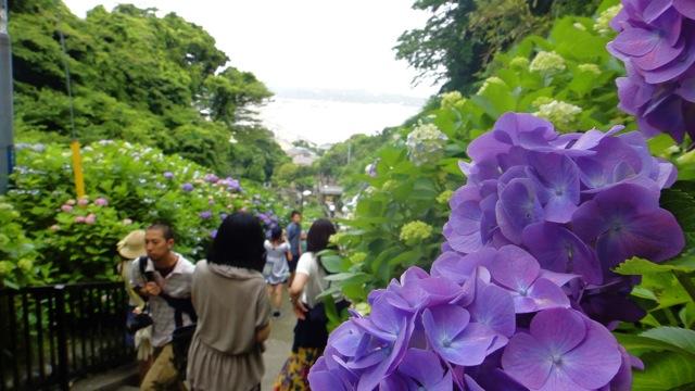 20110614紫陽花1