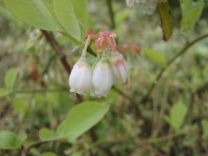 20100512ブルーベリーの花