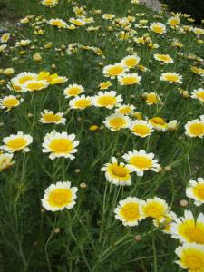 20100512春菊の花