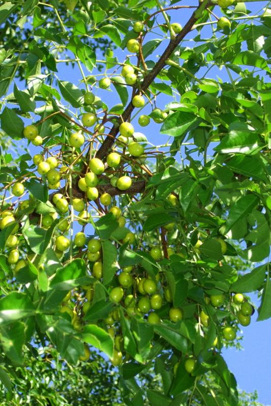 銀杏(イチョウ)の木とせんだんの木:素人(アマチュア)写真家の写真と日記