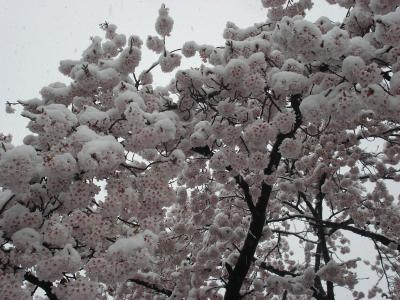 0422雪桜2