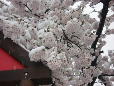 0422雪桜1