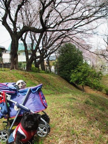110407sakura.jpg