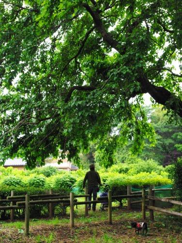 100530桑の木