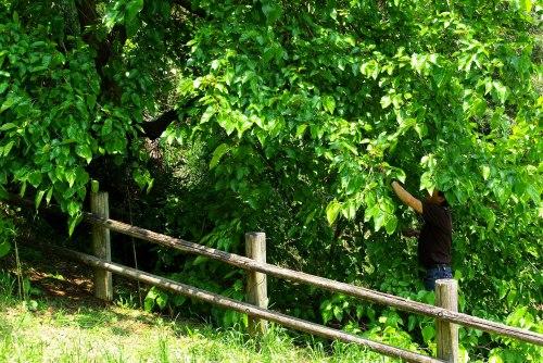 100612桑の木