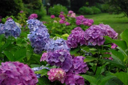 100629紫陽花