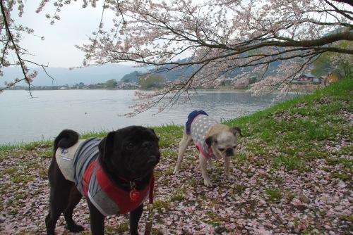 110424桜.