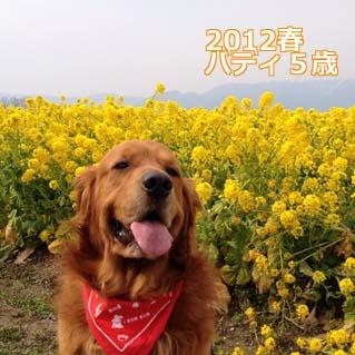 菜の花畑2012