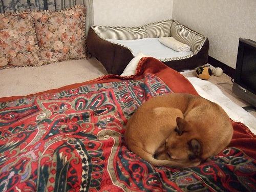 私の布団で寝るルル091219 004