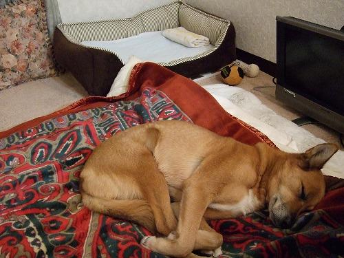 私の布団で寝るルル091219 006