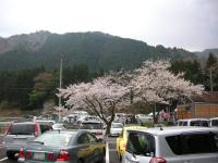 淡墨桜002