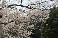淡墨桜015