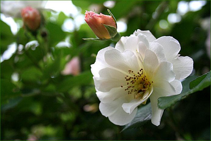 実枝にささげるバラ