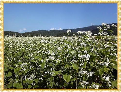 大浦の蕎麦畑