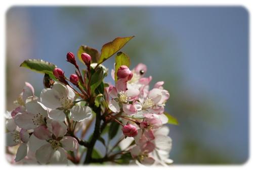 えびの高原ノカイドウの花