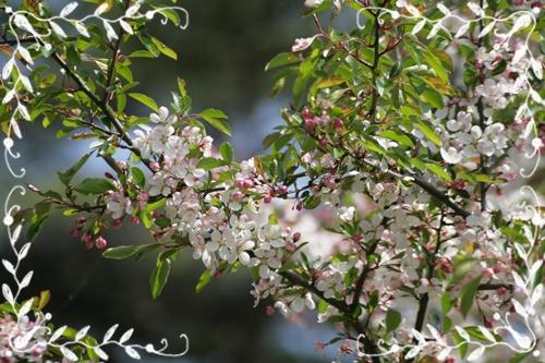 えびの高原ノカイドウの枝