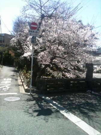 河原町五条桜