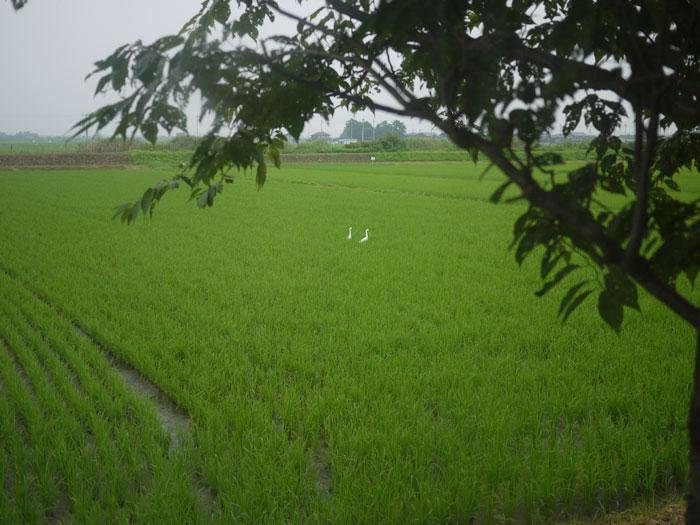 20100712田んぼ