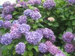 実家の紫陽花