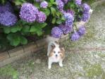 紫陽花とぴー