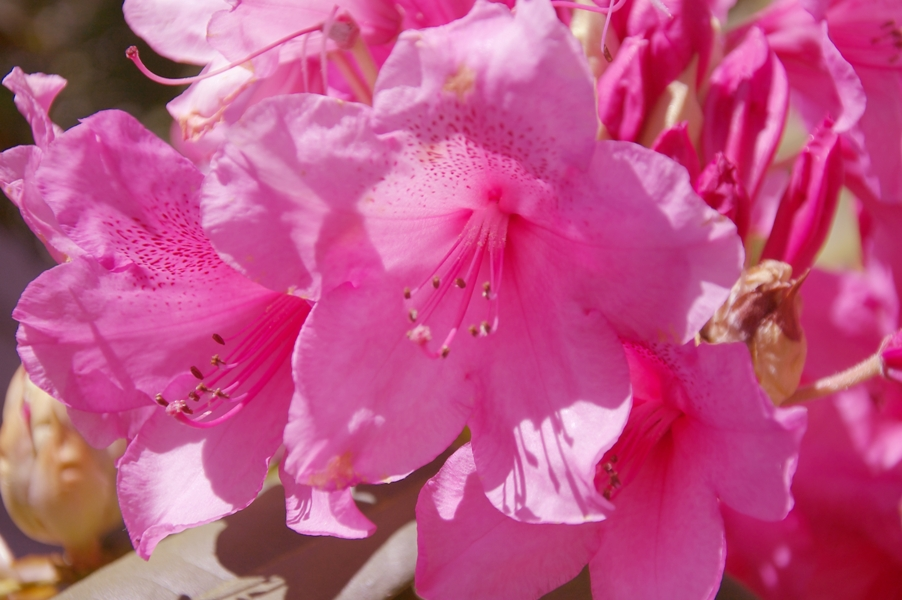 石楠花(シャクナゲ)3