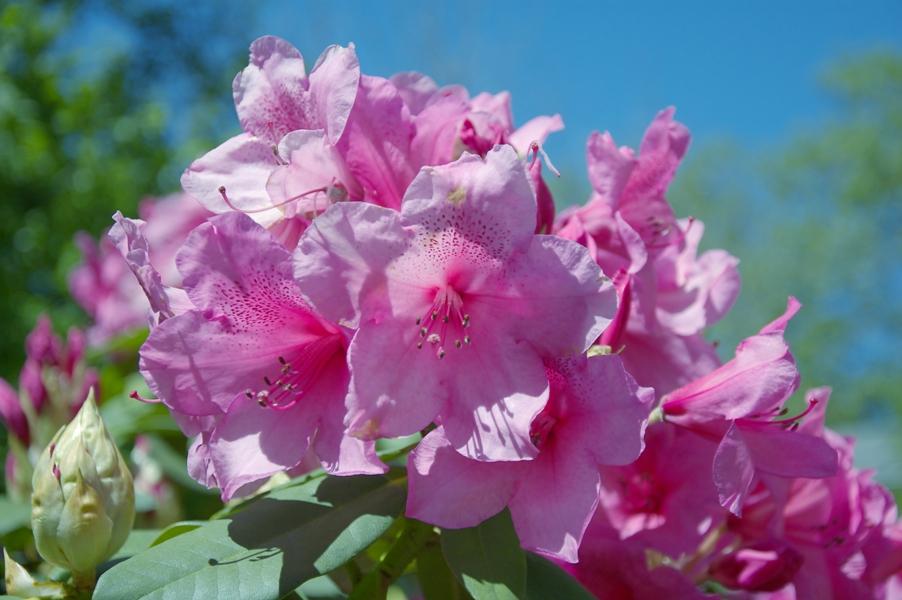 石楠花(シャクナゲ)4
