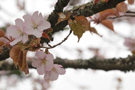 国泰寺の桜。(2)