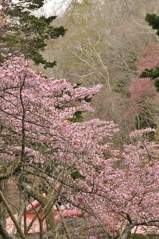 国泰寺の桜。