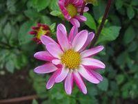 ショコラ 017菊