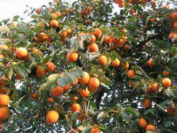 ショコラ 024柿