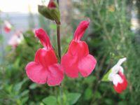 ショコラ 017花