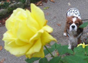 ショコラ 012黄バラと