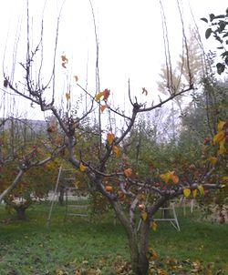 P1000200梨の木