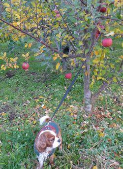 P1000292りんごの木