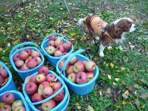 P1000305りんご収穫