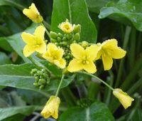 P1000406菜の花