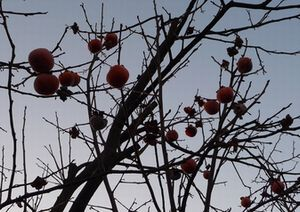 P1000494柿