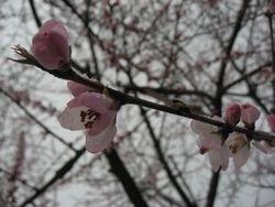 ショコラ 006桜