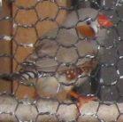 ショコラ 022小鳥
