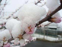 ショコラ 028桜