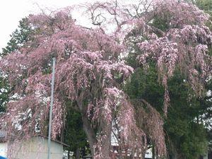 P1000093しだれ桜