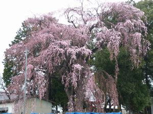 P1000101しだれ桜