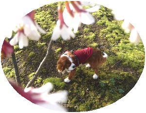 P1000114桜