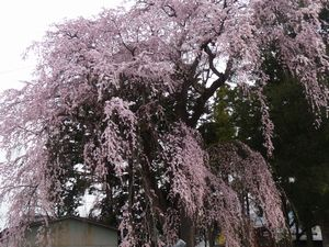 P1000129桜