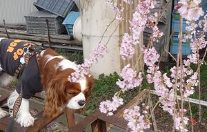 P1000130桜