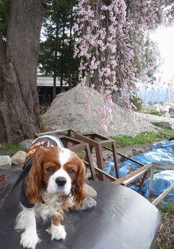 P1000132桜