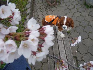 P1000154桜