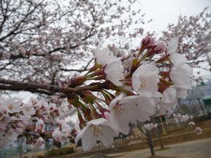 P1000157桜2