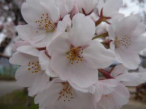 P1000158桜3